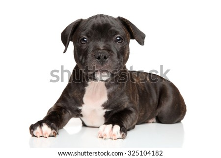 Happy Staffordshire bull terrier puppy in front of white background