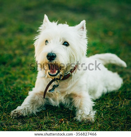 Happy Sweet West Highland White Terrier - Westie, Westy Dog Play in Grass - stock photo