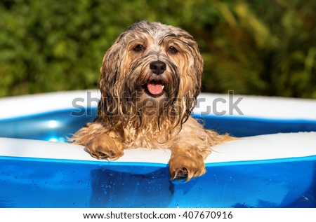 Happy wet havanese dog relies on the edge of an inflatable outdoor pool in a hot summer afternoon