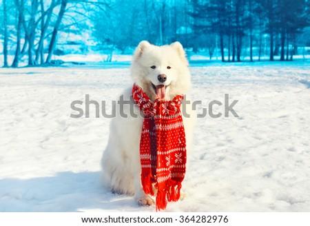 Happy white Samoyed dog on snow in winter day - stock photo