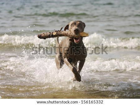 Happy young dog having fun in the water.  - stock photo