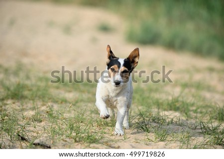 happy young jack russell terrier dog running