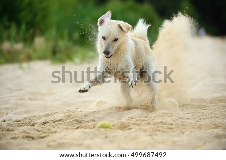happy young labrador mix dog playing on beach happiness with ball in sand splash