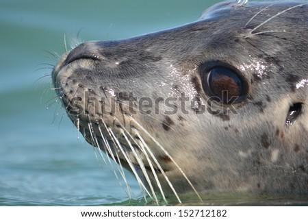 Harbor seal - stock photo