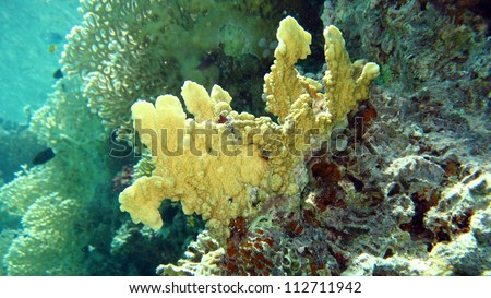 hard coral in the Red Sea,Egypt - stock photo