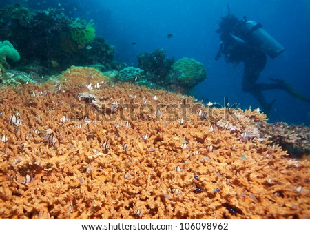 hard coral with many small fish and silhouette of diver on the background - stock photo