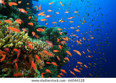 Hard Corals and Lyretail Anthias Fish - stock photo