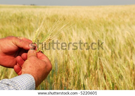 Hard working farmer's hands inspecting heads of Durum Wheat.  Focus is on hands and the individual heads, the crop in a golden sea.  Note* dirty nails and minor scarring. - stock photo