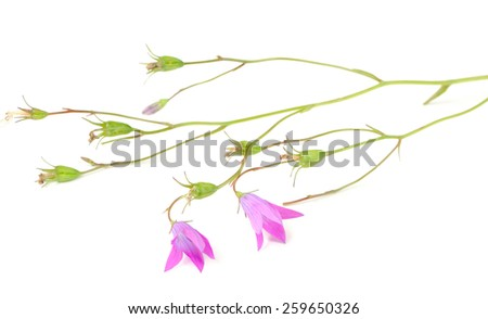 Harebell (Campanula Rotundifolia) on White Background - stock photo