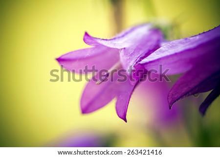 Harebells (Campanula) wild flowers on summer meadow - stock photo
