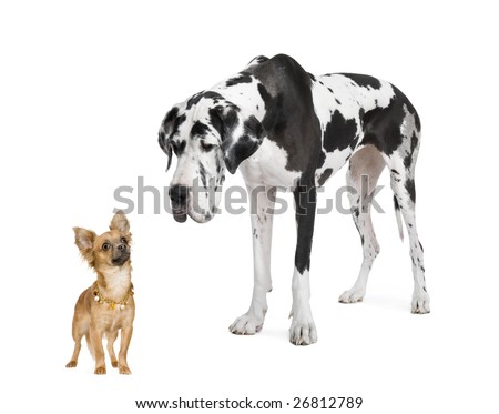 harlequin Great Dane (4 years)  looking down at a small chihuahua (18 months) in front of a white background