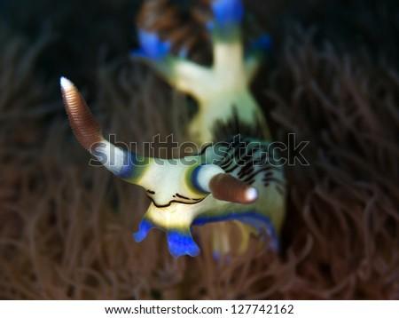 Harlequin Nudibranch (Nembrotha lineolata) - stock photo