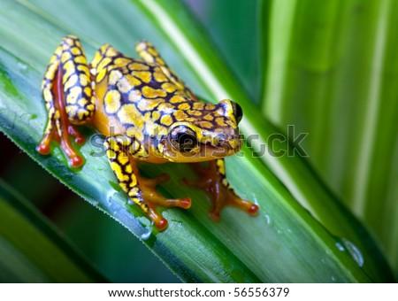 Harlequin Poison Dart Frog or Dendrobates histrionicus - stock photo