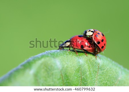 Harmonia axyridis mating on green plant