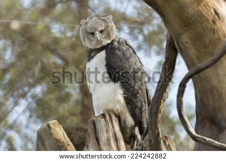 Harpy Eagle, American Harpy Eagle - stock photo