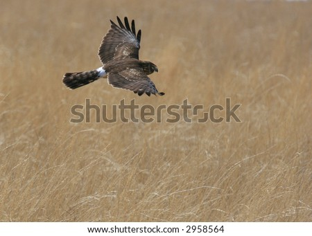 Harrier in flight - stock photo