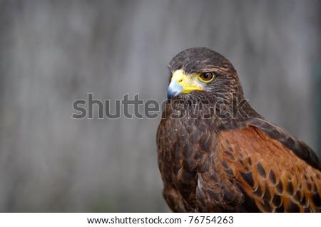 Harris Brown Hawk - stock photo