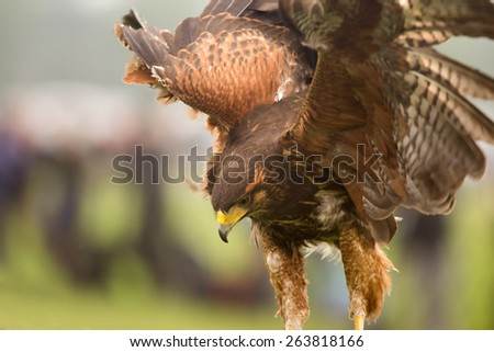 Harris Hawk - stock photo