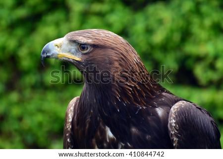 Harris Hawk a bird of prey - stock photo