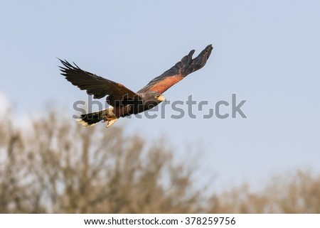 Harris Hawk and woodland. An impressive Harris hawk flies in front of woodland. - stock photo