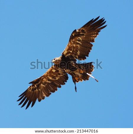 Harris hawk flying. - stock photo