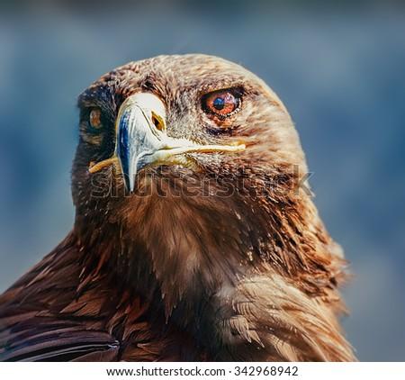Harris hawk head shot close up - stock photo