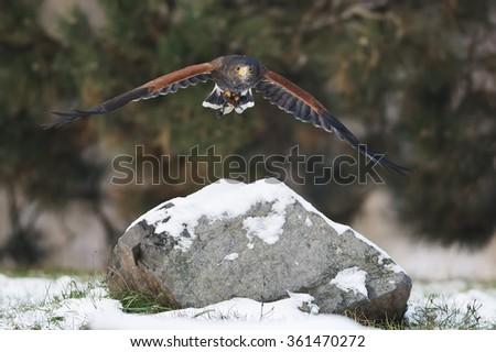 Harris hawk in flight above the rock - stock photo