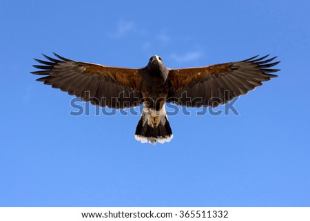 Harris Hawk in flight against clear sky. - stock photo
