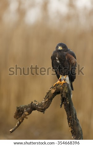 Harris hawk is waiting prey - stock photo
