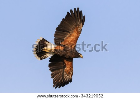 Harris Hawk overhead. A beautiful Harris hawk shows the lovely colouration of its underside as it passes overhead.
