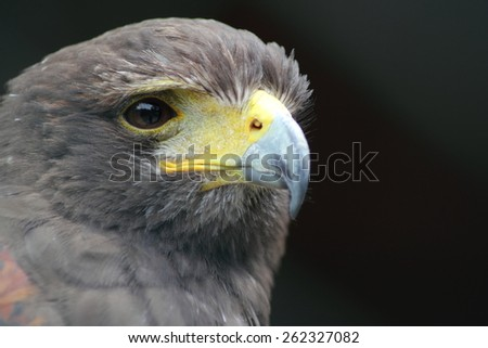 Harris' hawk (parabuteo unicinctus) - stock photo