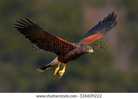 Harris Hawk, Parabuteo unicinctus, bird of prey in flight, in habitat - stock photo