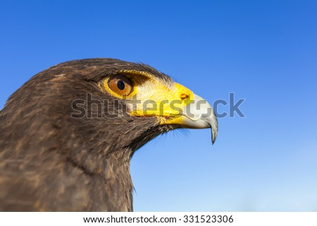 Harris Hawk, Parabuteo Unicinctus, in profile against a blue sky. Bird of prey native to the southwestern United States of America south to Chile and central Argentina. - stock photo