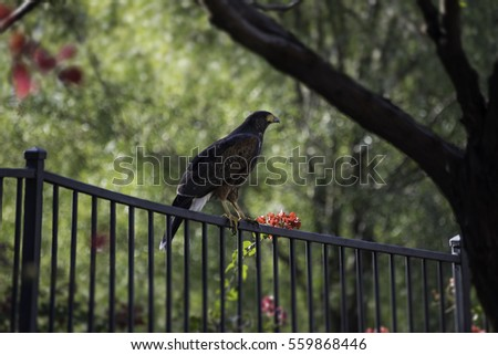 Harris Hawk Resting on a Fence in Phoenix, Arizona