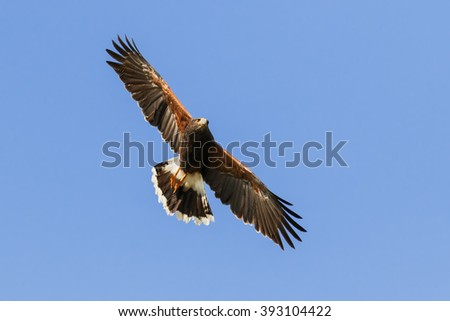 Harris Hawk wheeling in a clear blue sky. A splendid Harris hawk spreads its wings as it wheels through a clear blue sky. - stock photo