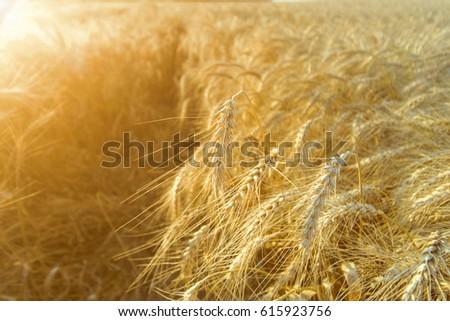 Wheat Field Stock Photo 578812879 - Shutterstock