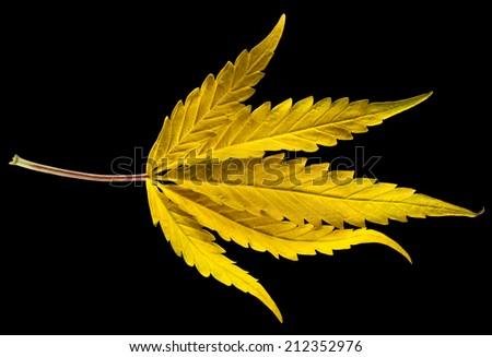 Harvest Cannabis - stock photo