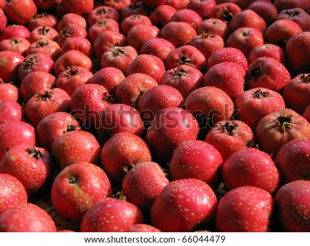 Harvest hawthorn - stock photo