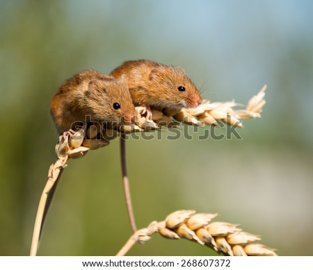 Harvest Mice - stock photo