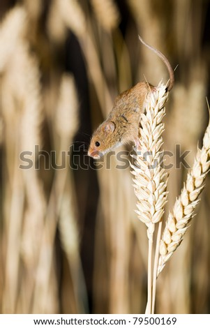 Harvest Mouse in Natural Habitat