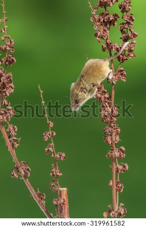 Harvest mouse (Micromys minutus) close-up - stock photo
