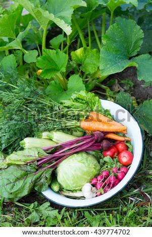 Harvest of fresh vegetables in the garden - stock photo