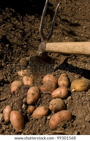 harvest of organic potatoes