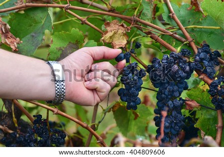 Harvest of several clusters of black grapes on a vine during wine making season in autumn. A male worker's hand holding one of the berries of a cluster and showing it to a viewer - stock photo