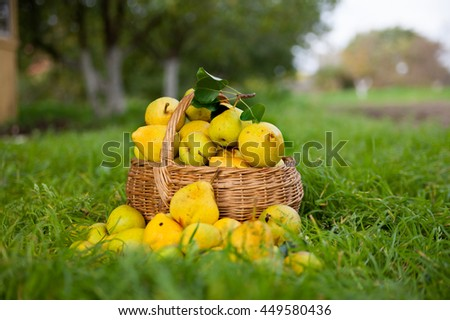 Harvest of sweet pears on   grass.