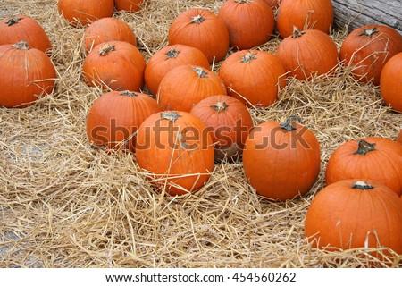 Harvest pumpkin patch