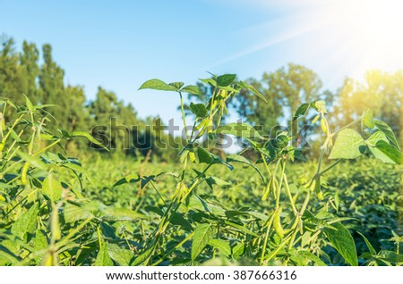 Harvest ready soy bean cultivated agricultural field, organic farming soya plantation - stock photo