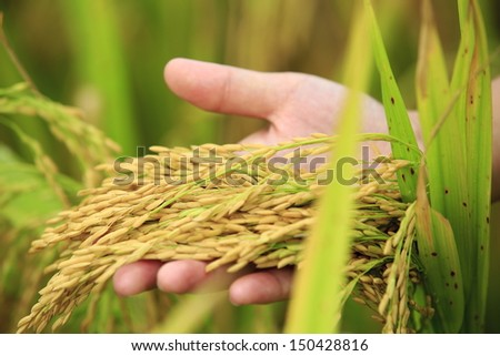 harvest rice at paddy field - stock photo