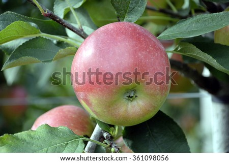Harvest ripe apple from the fruit cultivable area of South Tyrol near Bolzano in Italy.