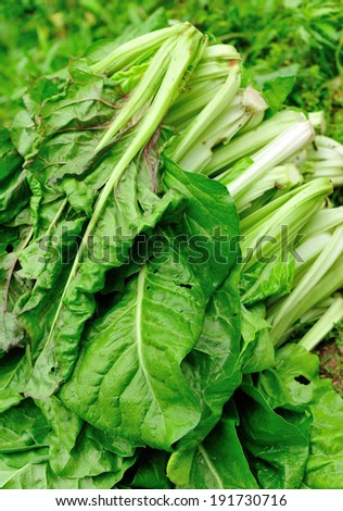 Lettuce stock photo 108798158 shutterstock for How to pick lettuce from garden